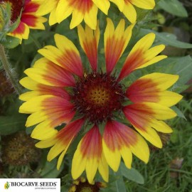 Gaillardia aristata Seeds - Pack of 100 Seeds