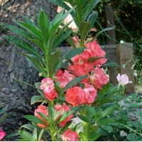 Impatiens balsamina Camellia Flowered Mixed - Pack of 50 Seeds