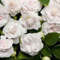 Impatiens balsamina White - Pack of 50 Seeds