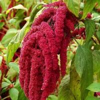 Amaranthus caudatus love-lies-bleeding Seeds - Pack of 100 Seeds