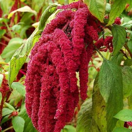 Amaranthus caudatus love-lies-bleeding Seeds - Pack of 100 Seeds