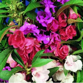 Impatiens balsamina Tom Thumb Mixed - Pack of 50 Seeds