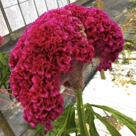Celosia cristata Seeds - Pack of 100 Seeds