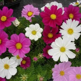 Cosmos bipinnatus Dwarf Sensations Mixed Seeds - Pack of 100 Seeds