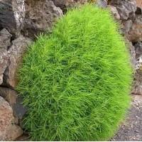 Kochia scoparia trichophylla Seeds - Pack of 100 Seeds