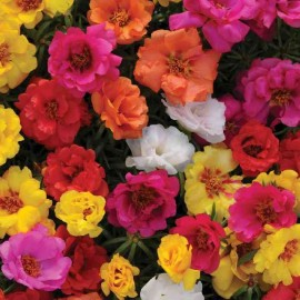 Portulaca grandiflora - Pack of 300 Seeds
