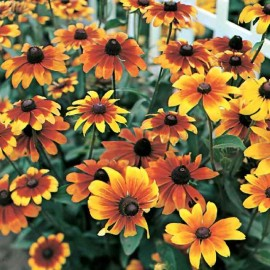 Rudbeckia - Pack of 50 Seeds