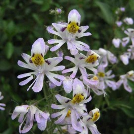 Schizanthus pinnatus - Pack of 50 Seeds