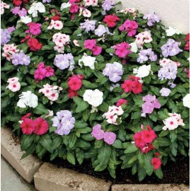 Vinca Rosea Dwarf Mixed Seeds - Pack of 100 Seeds