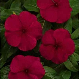 Vinca rosea Nana Burgundy Dwarf Seeds - Pack of 100 Seeds