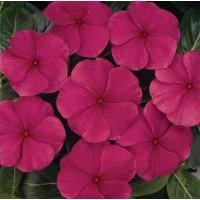Vinca rosea Nana Magenta Dwarf Seeds - Pack of 100 Seeds