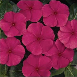 Vinca rosea Nana Magenta Dwarf Seeds - Pack of 100 Seeds