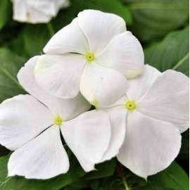 Vinca rosea Nana Little White Dwarf Seeds - Pack of 100 Seeds