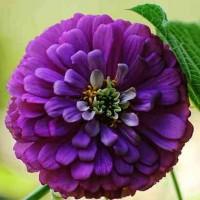 Zinnia elegans Purple Seeds - Pack of 100 Seeds