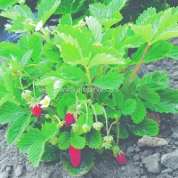 Alpine Strawberries - Pack of 50 Seeds