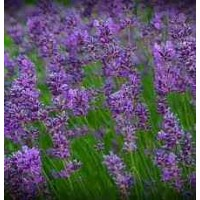 Lavender - Pack of 50 seeds