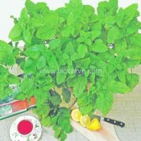 Lemon Balm - Pack of 50 seeds