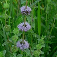 Pennyroyal - Pack of 50 seeds