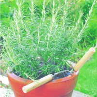 Rosemary - Pack of 50 seeds