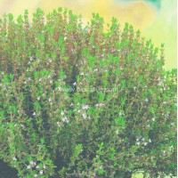 Thyme English Winter - Pack of 50 seeds