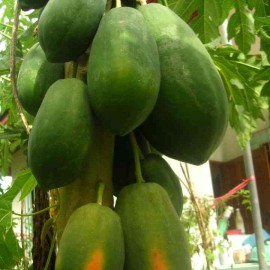 Papaya F1 Hybrid - Pack of 10 seeds