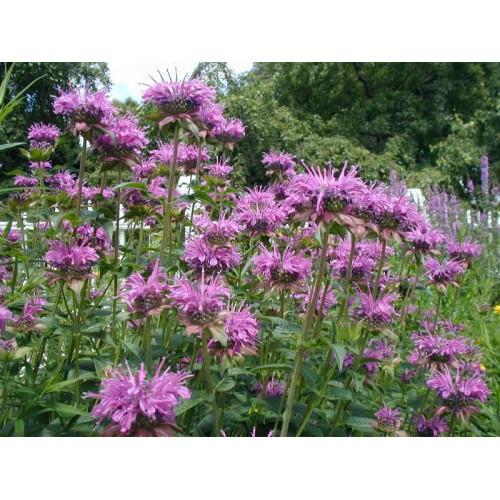 Buy Wild Bergamot Seeds - Buy Bergamot Seeds - Buy Herb ...