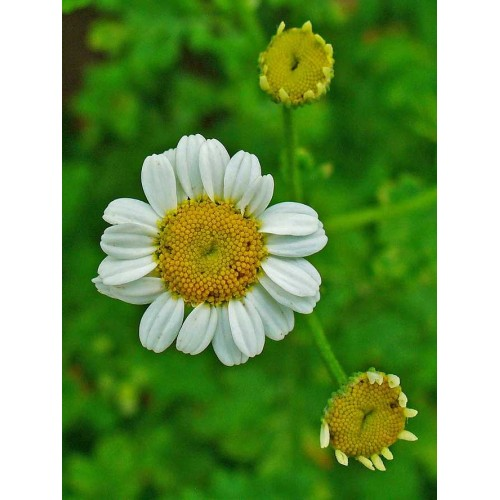 Feverfew - Pack of 100 Seeds