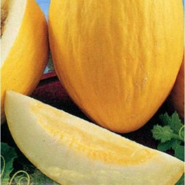 Melon Casaba Golden Beauty Packet of 20 Heirloom Seeds
