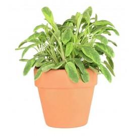 Sage Broad Leaf - Pack of 50 Seeds