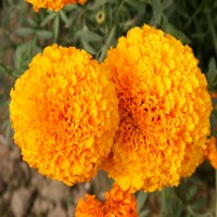 Biocarve Marigold African Hawaii Orange - Pack of 100 Seeds