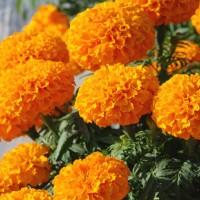 Biocarve Marigold African F2 Orange - Pack of 50 Seeds