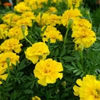 Biocarve Marigold Petula Yellow-Pack of 100 Seeds