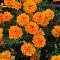 Biocarve Marigold French Gulzafri Orange-Pack of 100 Seeds