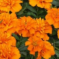 Biocarve Marigold Petula Orange-Pack of 100 Seeds