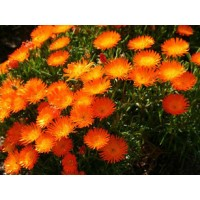 Lampranthus Aureus, Golden Ice Plant ,Orange Ice Plant - 20 Seeds