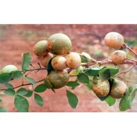 Aegle Marmelos, Stone Apple , Bael - 100 Seeds