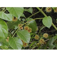 Uncaria Rhynchophylla , Cat's Claw Herb - 25 Seeds