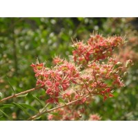 Lawsonia Inermis ,  Henna Plant, Mehendi - 250 Seeds