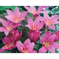 Rain Lily Pink (Zephyranthes Robusta) - 25 Bulbs